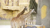 ruminante : Pair of giraffes eat green branches at the zoo, animals in the safari park, giraffes with their tall necks in the tropical park, talles animal