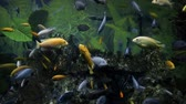exotismo : Colorful fishes swim in the large aquarium, freshwater fishes, underwater world, silent pets, aquariums hobby, aquariums at home Vídeos