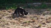 whiskers : Cat playing with hunted locust on a plot Stock Footage