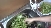 Green young sunflower sprouts for cooking