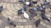 The flock of pigeons eats food on the ground Стоковые видеозаписи