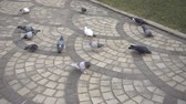 the flock of pigeons eats bread on the ground Стоковые видеозаписи