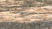 turtledove : collared dove feeding on the ground  Stock Footage