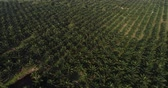 bornéu : Palm oil plantation field agricultural industry aerial view background