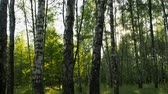 сок : birch grove at sunset Стоковые видеозаписи