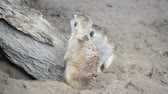 suricate : Meerkat (Suricate) family, the small animals of africa