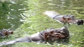 amphibious : behavioral shot in slow motion of a Hippo