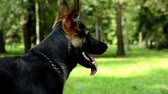 vigilante : dog in the park - german shepherd - trees and grass in the background