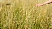 fluently : hand fluently flows through the gold grass out from camera - detail Stock Footage