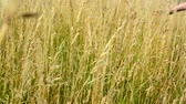 fluently : Hand fluently flows through the gold grass to the camera - detail Stock Footage