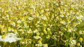 vista : large field of camomile flowers in the countryside - sunny day - breeze blows