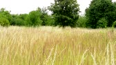 wispy : view of the field of yellow long grass surrounded by trees and bushes Stock Footage