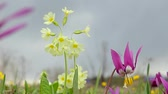 spring onion : primrose flowers and erythronium first Stock Footage