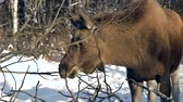 szarvak : moose in winter