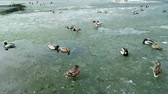 stěhovavý : ducks on a pond, go in pairs on melting ice