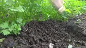 spring onion : manual rake bed with parsley loosens and bores