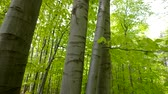 de faia : Spring in the forest. Vertically moving down in beech forest. Dolly crane. Birds sing.