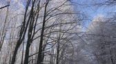 backlight : Winter in the woods. Frosted trees. Stock Footage