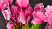 tutku : Blooming cyclamen. Rotating movement.