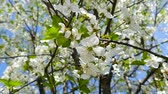 cherry : Spring is. Nature wakes up. Flowering cherry wood close-up.