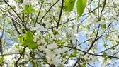 szilva : Spring is. Nature wakes up. Flowering cherry wood close-up.