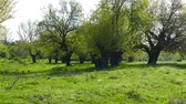 uyanık : Spring in the middle of nature. Old mulberry trees wake up. Stok Video