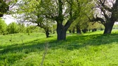 probuzení : Spring in the middle of nature. Old mulberry trees wake up. Dostupné videozáznamy