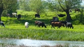 pastoreio : Spring in the middle of nature. Riverside. Cows graze.