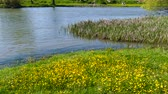 vadvirágok : Spring in the middle of nature. Riverside. Flowering wild yellow flowers. Stock mozgókép