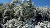 florescer : White blossom bush in the open.