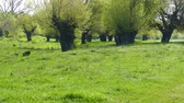 Spring in the middle of nature. Old mulberry trees wake up. Stok Video