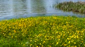 Spring in the middle of nature. Riverside. Flowering wild yellow flowers. Stok Video
