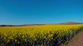 Agricultural landscape. A field of blooming canola. Danubian Plain Bulgaria.