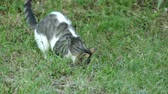 The young kitten plays with a small live mouse that has caught it. He does not eat it. Stok Video