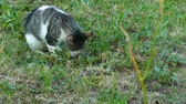 The young kitten plays with a small live mouse that has caught it. He does not eat it. Slow motion. Stok Video