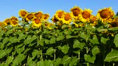 Sunflower with bees, close-up. Stock Footage
