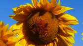 motivo floreale : Girasole con le api, close-up.