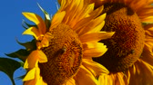 Sunflower with bees, close-up. Stok Video