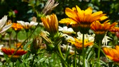 Flowers in the Home Garden. Camera on the go, close-up. Stock Footage