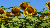Small sunflower against the background of big blooming sunflower. Stock Footage