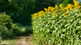 Agricultural road grows sunflower levels.