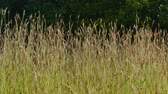 Close-up of grass on a dark background. Light wind. Video background. Stok Video