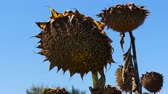A close-up ripe sunflower. Harvest season.