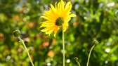 клубень : Bloomed colerape in a home garden. Closeup, boke. Light wind. Стоковые видеозаписи