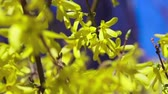 blooming : Yellow blooming trees in spring Stock Footage