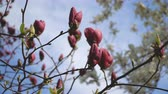 makro : Beautiful pink flowers of magnolia bloom closeup in broad daylight on natural background Wideo