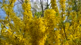 vassoura : Forsythia bushes blossomed yellow flowers. Sunny spring day, the bush began to bloom yellow flowers. Beautiful bush in sunlight Stock Footage