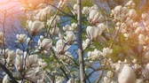 一重の花 : White magnolia flowers on tree branch on background of blue sky