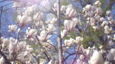 makro : White magnolia flowers on tree branch on background of blue sky