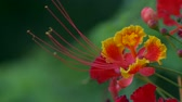 нектар : Royal Poinciana flower blows in the breeze 4K